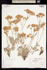 Image of Eriogonum bellum
