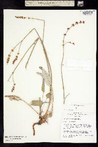 Eriogonum racemosum image