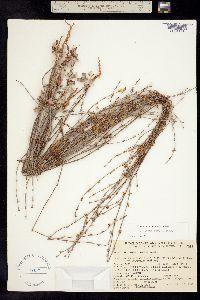 Image of Eriogonum roseum