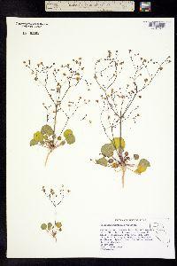 Eriogonum rubricaule image