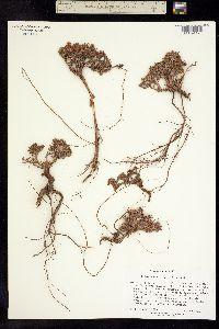 Image of Eriogonum ripleyi