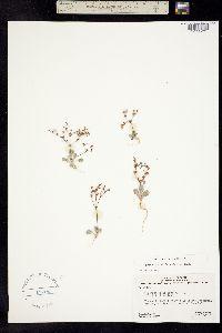 Image of Eriogonum salicornioides