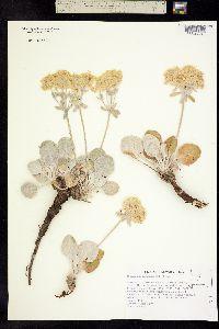Image of Eriogonum robustum