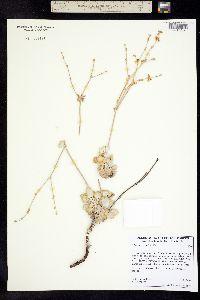 Eriogonum saxatile image