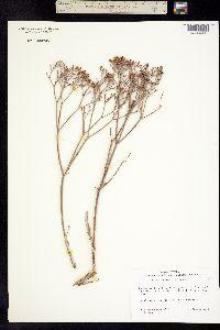 Eriogonum lonchophyllum var. lonchophyllum image