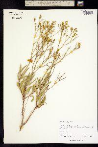 Image of Eriogonum smithii