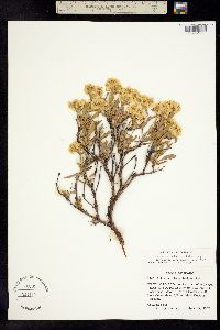 Image of Eriogonum sphaerocephalum