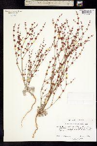 Image of Eriogonum saltuarium