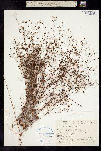 Image of Eriogonum thurberi