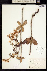 Image of Eriogonum tomentosum
