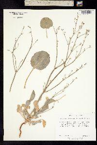 Image of Eriogonum temblorense