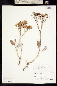 Image of Eriogonum thompsoniae