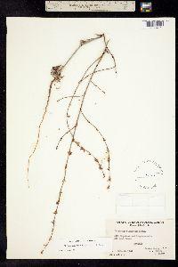 Image of Eriogonum truncatum