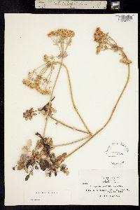 Image of Eriogonum ursinum