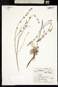 Image of Eriogonum zionis