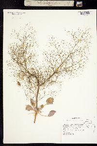 Image of Eriogonum viscidulum