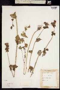 Image of Fagopyrum esculentum