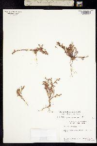 Image of Lastarriaea coriacea