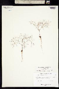 Image of Eriogonum dendroideum