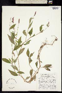 Image of Persicaria posumbu