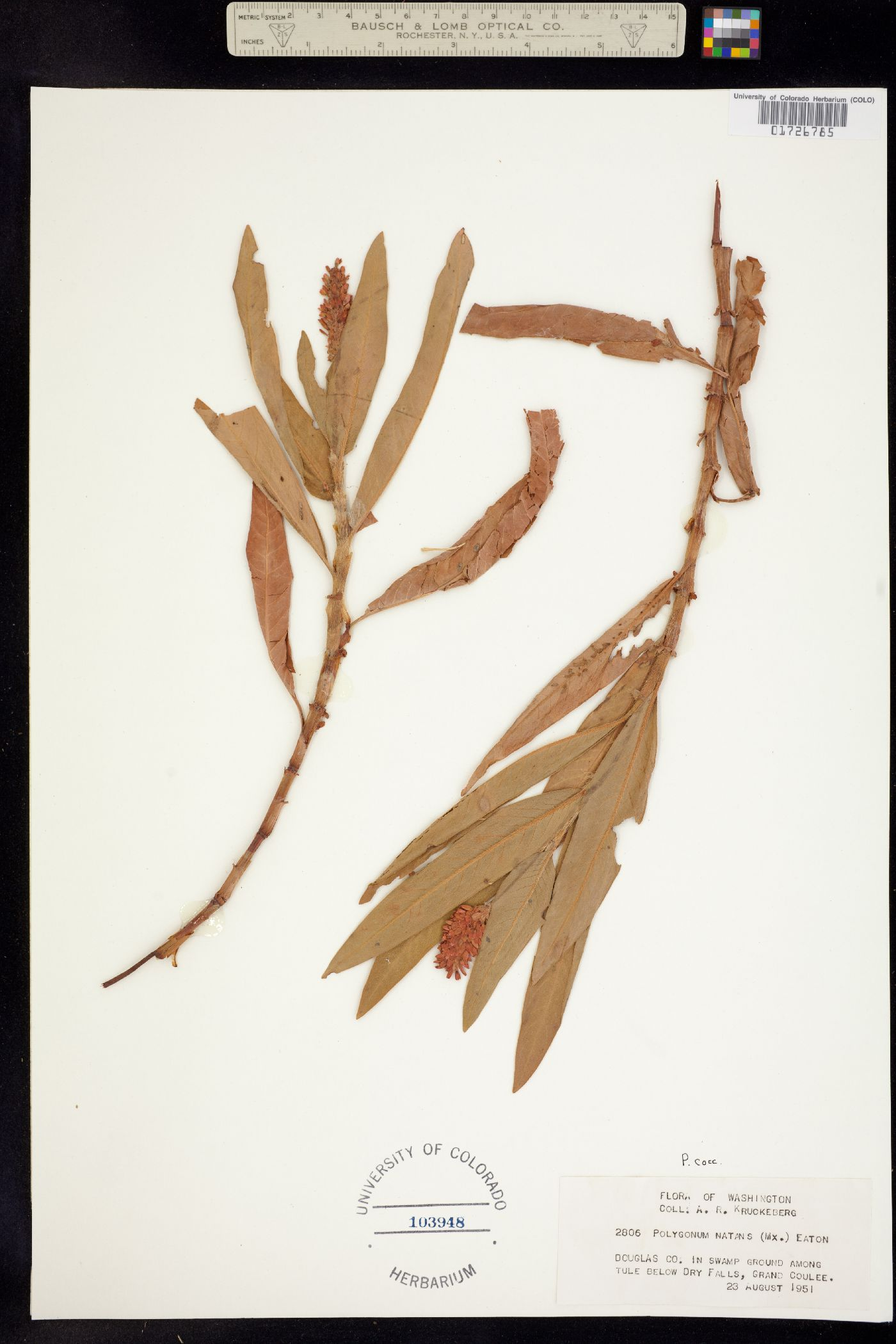 Persicaria coccinea image