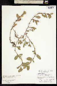 Image of Polygonum fowleri