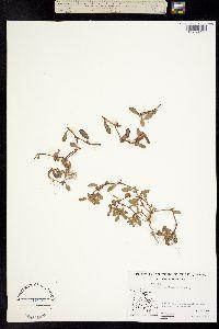 Polygonum fowleri image