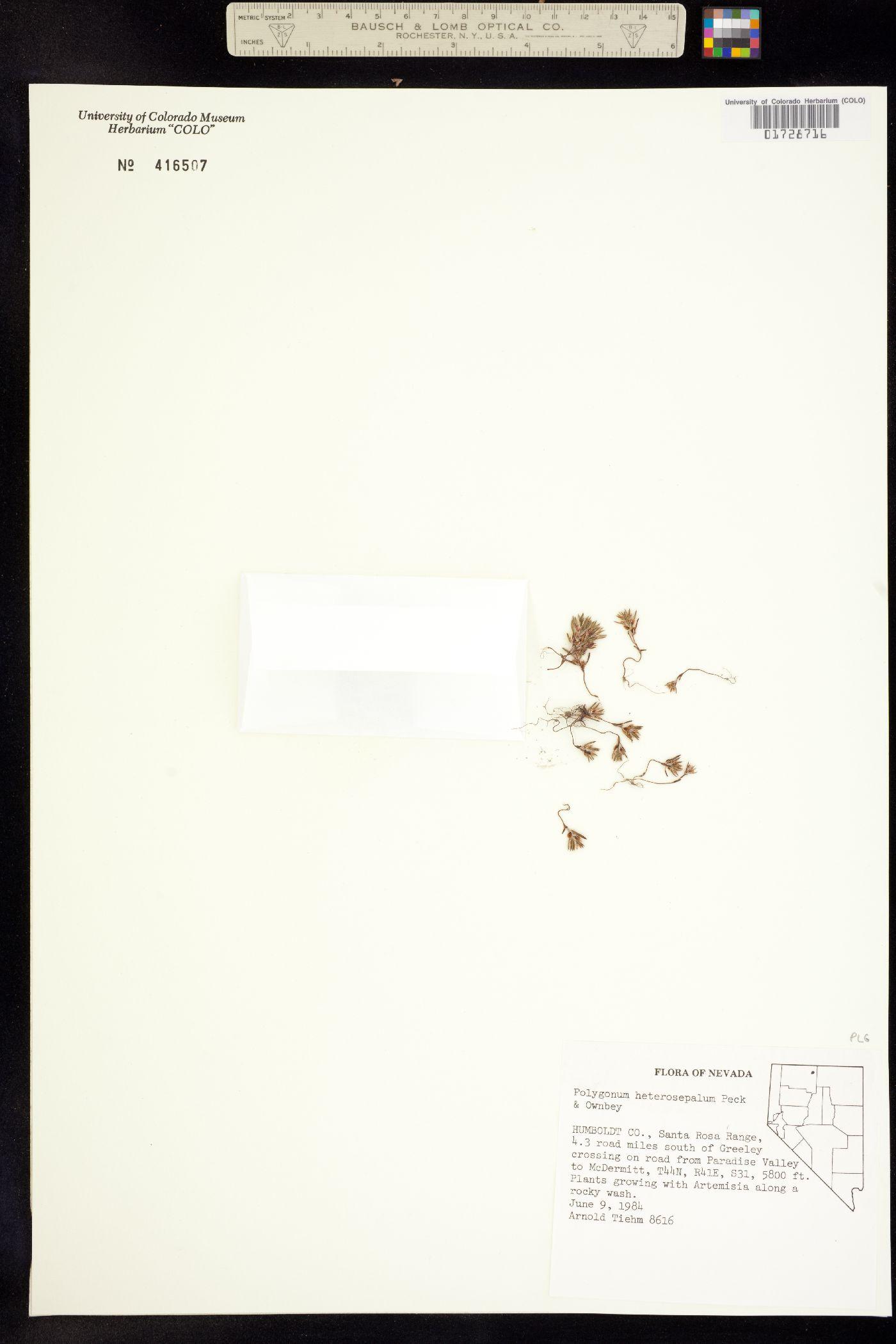Polygonum heterosepalum image