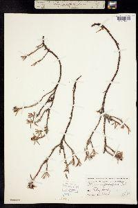 Polygonum paronychia image