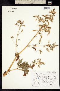 Image of Polygonum phytolaccifolium