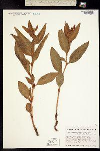Polygonum phytolaccifolium image