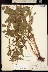 Image of Rumex conglomeratus