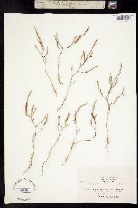 Polygonum californicum image