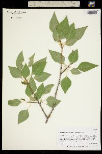 Populus fremontii ssp. mesetae image