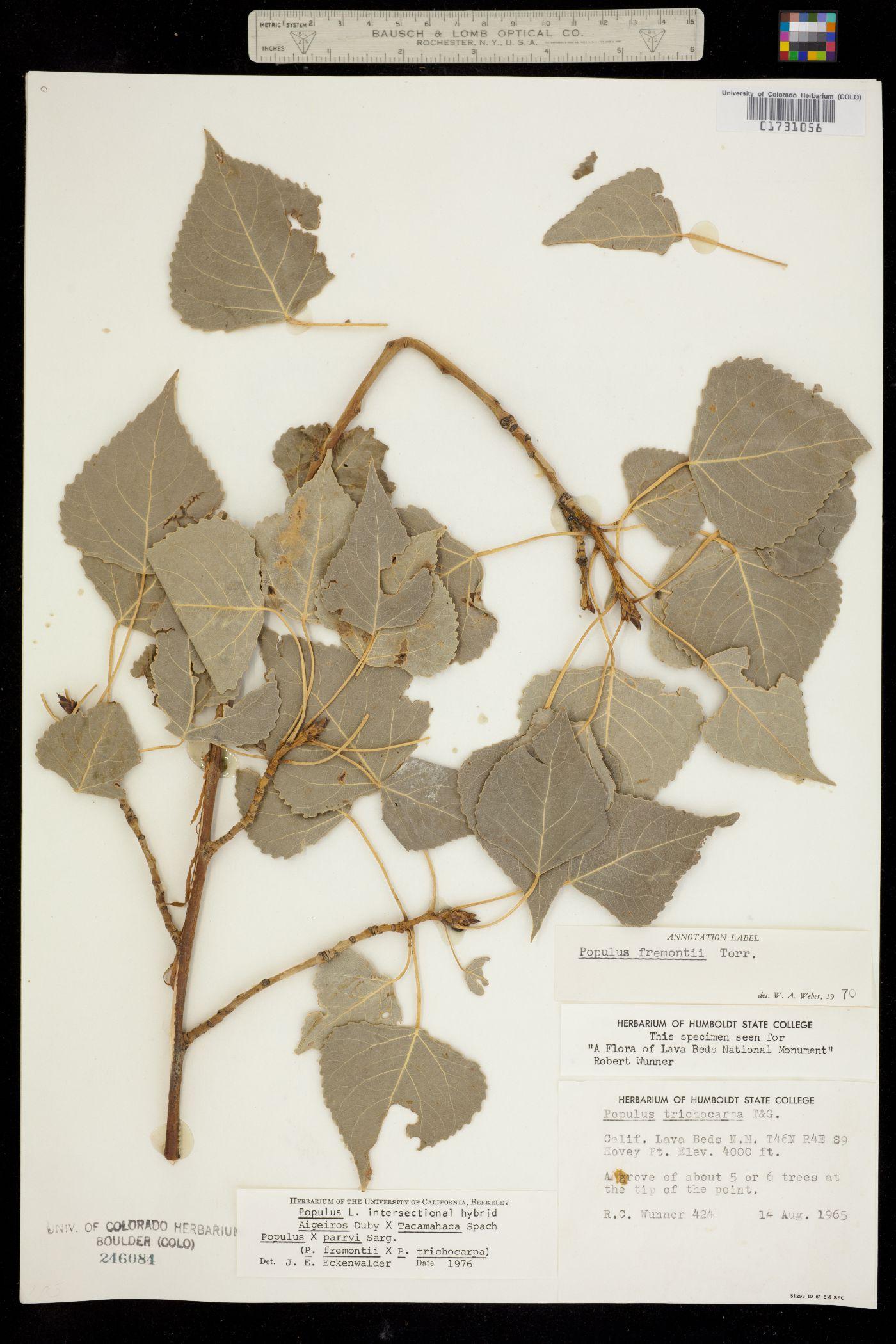 Populus X parryi image