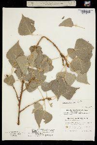Image of Populus x parryi