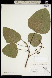 Image of Populus heterophylla