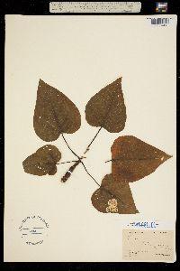 Image of Populus trichocarpa