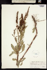 Image of Rumex mexicanus