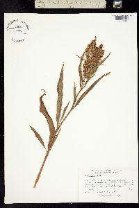 Image of Rumex verticillatus