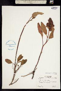 Rumex lacustris image