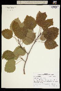 Image of Populus grandidentata
