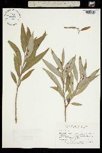 Salix alba image