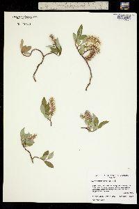 Salix arctophila image