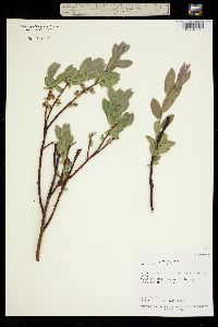 Salix arizonica image
