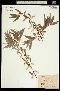 Image of Salix babylonica
