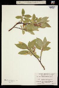 Image of Salix barclayi