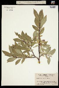 Salix barclayi image