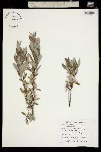 Salix brachycarpa image