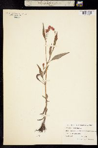 Polygonum persicaria image